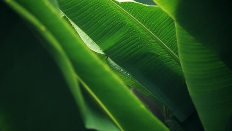Rain falling on banana leaf