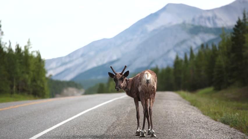 Caribou on Klondike highway,Yukon,Canada