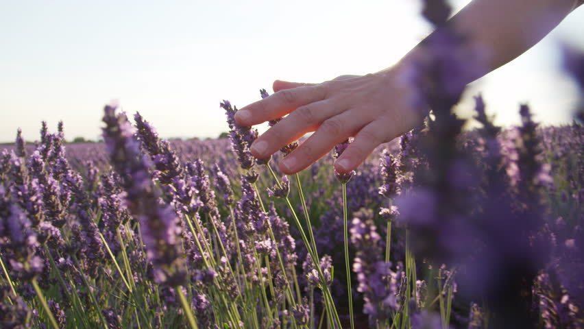 SLOW MOTION CLOSE UP: Hand touching purple flowers in beautiful lavender field at golden sunset - 4K stock footage clip