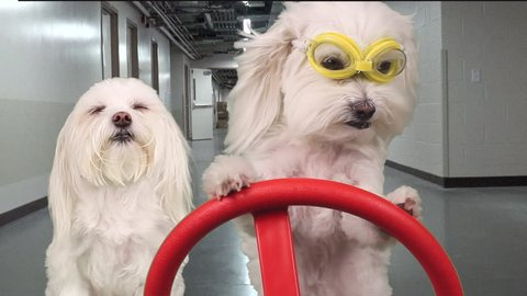 Adorable canine with serious expression wears safety goggles, drives another dog, acting like an inspector through hallways in warehouse utility vehicle. FUN dog concept. Motion, composite. 1080p