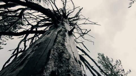 Scary mystical atomosphere, dead tree slow pan in dark moody forest.Ground view,slow wide angle pan of a big tree with long dry branches long dead by a lightning strike