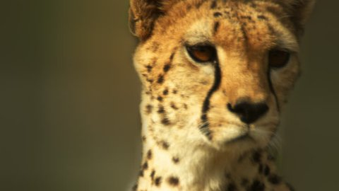 Close up on alert cheetah. Filmed in Kenya, Africa.