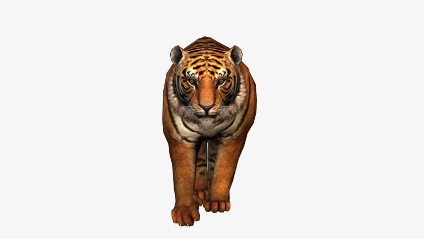 Tiger Running, Wild Animal Isolated Stock Footage Video (100% Royalty-free)  12003059   Shutterstock