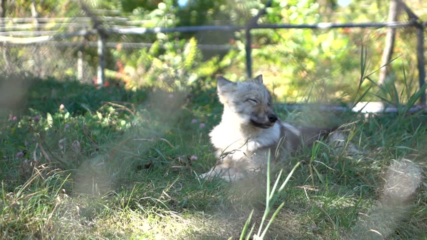 Gray Wolf in Super Slow Motion HD #12005366