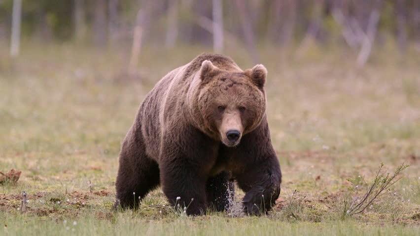 Huge brown bear walking in swamp making noise ambient audio #12020189