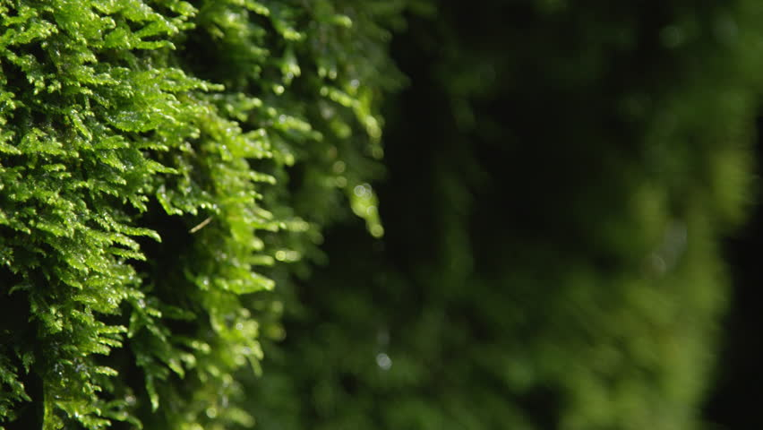 CLOSE UP: Water drops dripping off a wet moss