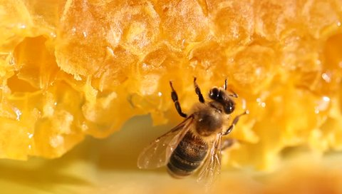 Bee gathering honey and nectar with proboscis. Close up macro footage.