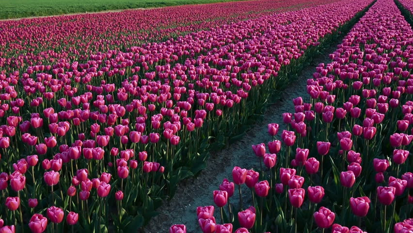 Time Lapse Tulip Sequence Day 37 >> Lots Of Blossoming Tulips Planted Stock Footage Video 100