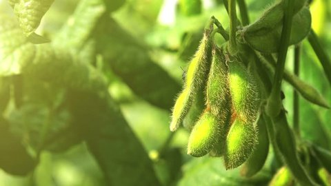 Green soybean field close up, soy bean crops in field, 4k uhd footage.