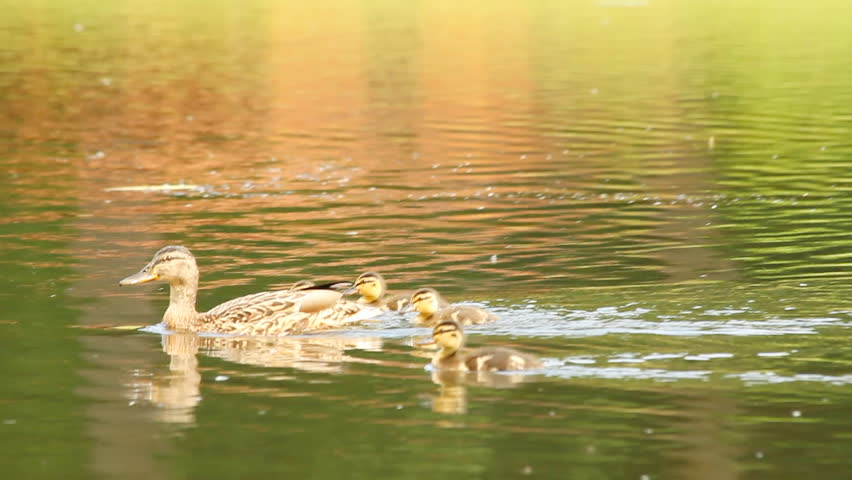 duck and her ducklings on the lake