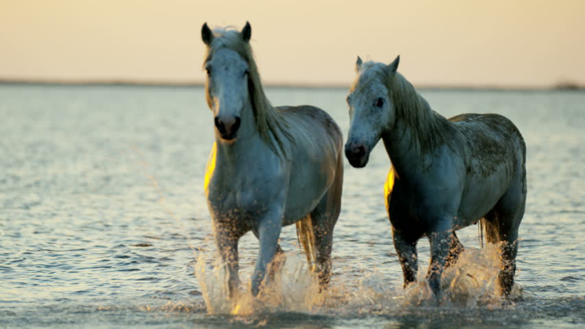 Camargue animal horses France sunset wildlife herd grey livestock sea Mediterranean nature outdoors marshland freedom travel RED DRAGON | Shutterstock HD Video #12292829