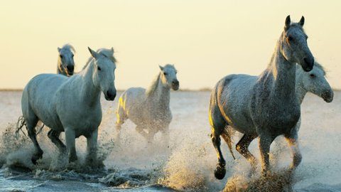 Camargue, France animal horses wild white livestock sunset running rider cowboy water Mediterranean nature tourism travel RED DRAGON