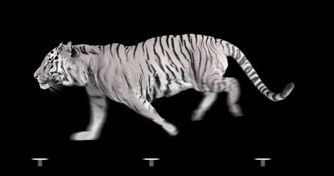 White tiger runs. Isolated and cyclic animation.