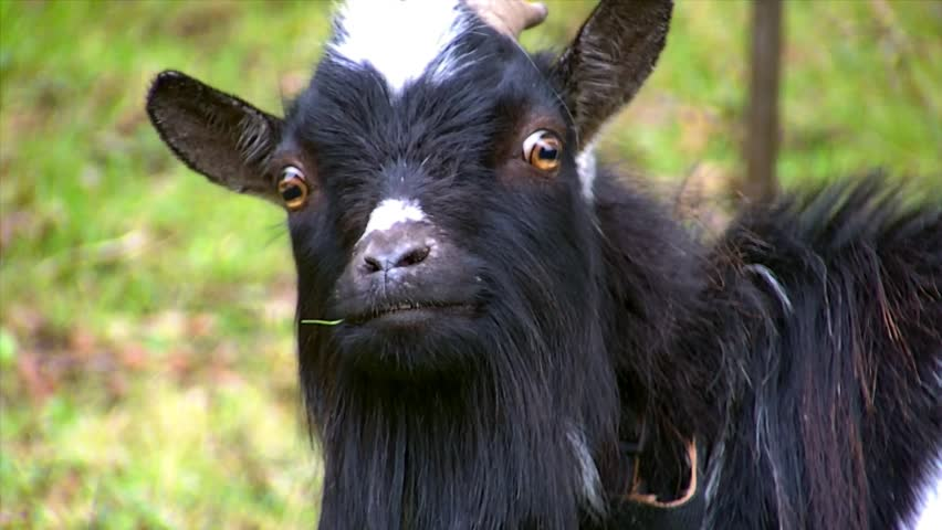 Funny Black Goat Looking at Camera