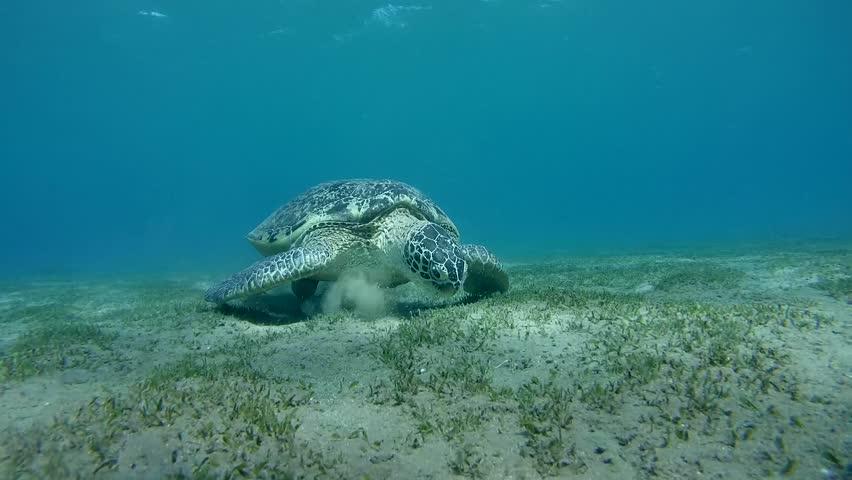 green sea turtle(Chelonia mydas) eating sea grass at the sandy bottom and exits the frame (tripod) Red sea, Marsa Alam, Abu Dabab, Egypt #12404009