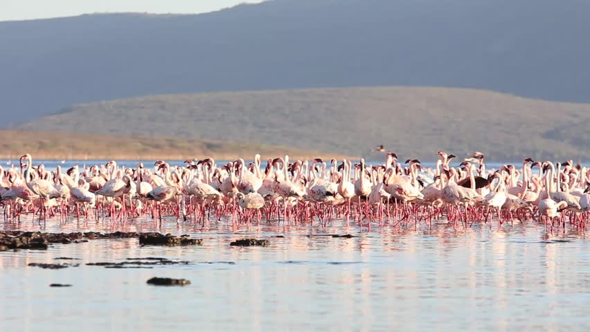 Flamingoes: Flock of Lesser and Greater Flamingo feed in lake in East Africa Great Rift Valley