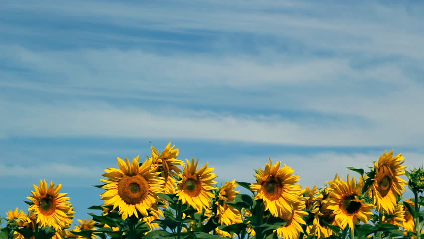 Sunflower Field Against Blue Sky Stock Footage Video 100 Royalty Free 1245409 Shutterstock