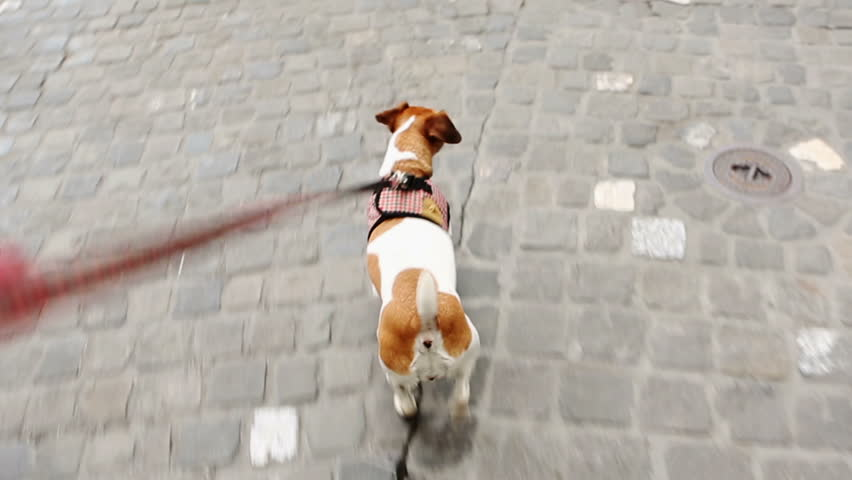 Adorable dog Jack Russell terrier dog walking around the city on a leash Video footage