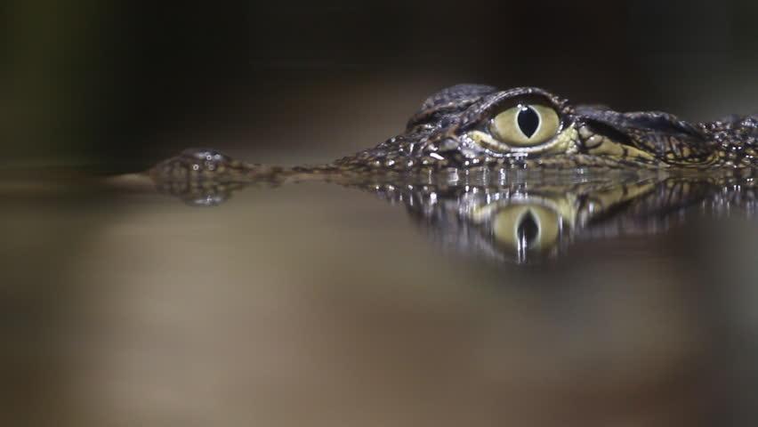Small crocodile swims in the water