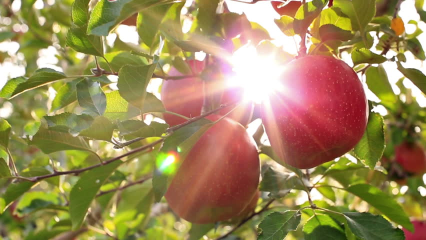 Farmer picking apples from the tree.The sun shines through the apple tree.  | Shutterstock HD Video #12553199