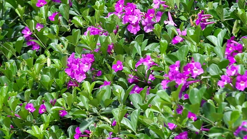 Bush Of Garlic Vine Plant With Violet Flowers Are Shaking Gently Wind Hd Stock
