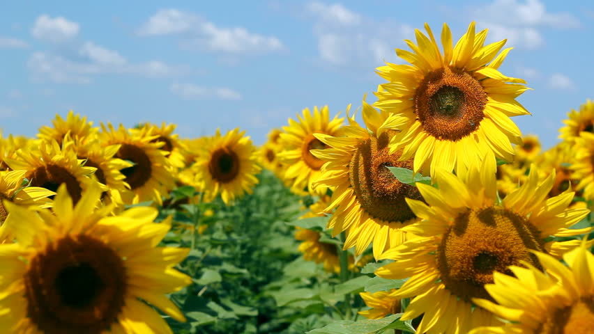 Sunflowers in full bloom dancing in the wind.  Flowering sunflowers. Sunflowers field. Agricultural production.
