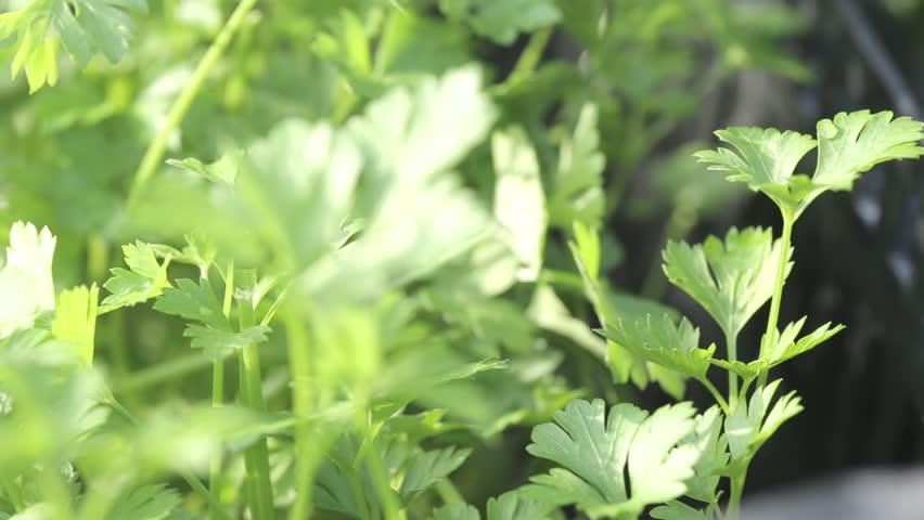 Shot Of Cilantro Herb In Nursery Hd Stock Video Clip