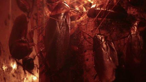 Huge cockroaches dark room timelapse macro close up