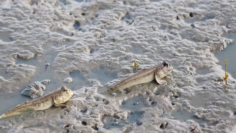 Mudskipper, Amphibious fish