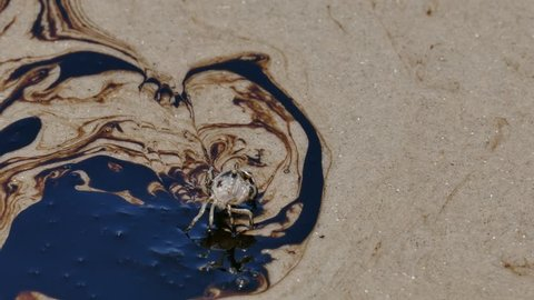 Ghost Crab walking over crude oil spilled on sand beach.