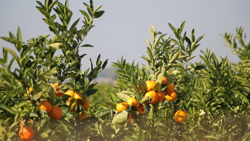 Outstanding Mandarin Orange Tree With Ripe Citrus Fruits Citrus Plantation In  With Excellent Mandarin Orange Branches Oranges Growing On Tree In A Garden  Hd Stock  Video Clip With Easy On The Eye Garden Fete Also Windy Farm Garden Center In Addition In The Garden Anne Murray And Tatton Park Garden Show As Well As Egg Garden Chair Additionally English Garden From Shutterstockcom With   Excellent Mandarin Orange Tree With Ripe Citrus Fruits Citrus Plantation In  With Easy On The Eye Mandarin Orange Branches Oranges Growing On Tree In A Garden  Hd Stock  Video Clip And Outstanding Garden Fete Also Windy Farm Garden Center In Addition In The Garden Anne Murray From Shutterstockcom