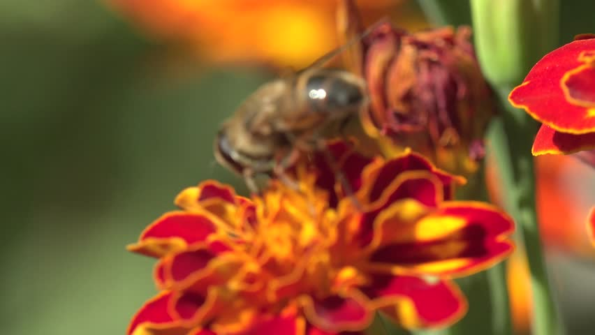 Bee Abeja Crawling On A Red Flower In The Garden Bed Of