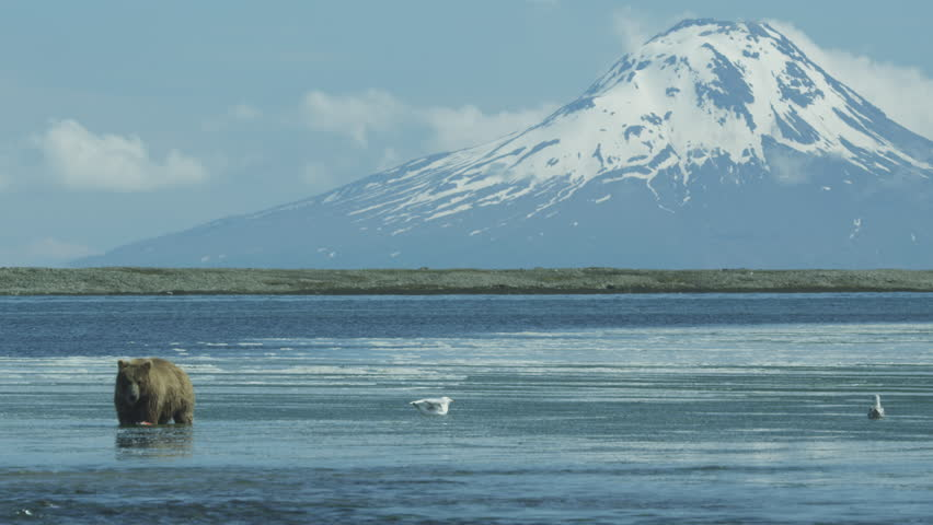 Brown bear in river eating sockeye salmon, snow covered Mount Augustine in background, Alaska, 2011