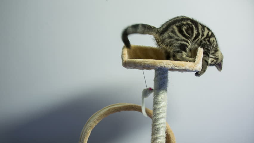 Kitten jumping around scratch post. Baby cat jump from scratch post bed to bottom hanging mouse toy being active. Cute British breed kitten. White background. Beige scratch post.