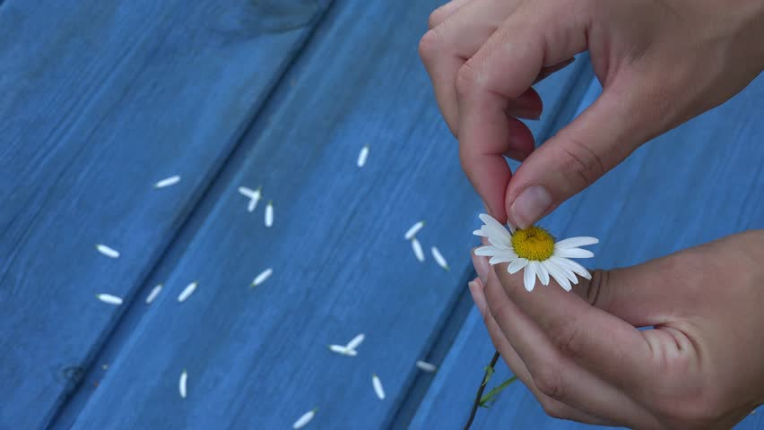 Female hands tear off daisy flower petals. Woman guessing playing he loves me, he loves me not game. Romantic summer game. Blue wooden board background. Static closeup shot. 4K