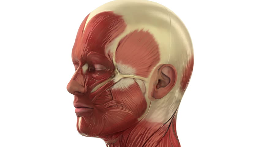 Head Muscular System Muscles Of The Face And Neck Seamlessly