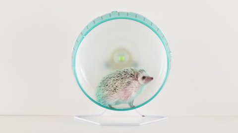 Hedgehog on a running wheel