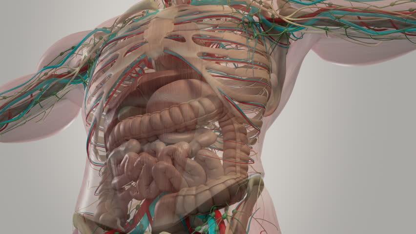 Human Anatomy Abdominal Rotation Showing Stock Footage Video