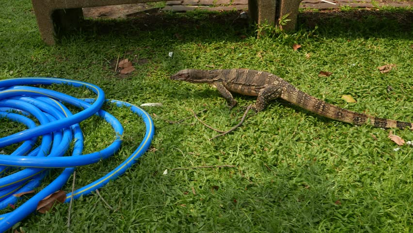 Water Monitor Lizard walk on grass, sniff the area by split tongue. Public garden in the Bangkok city, wild tropical animal walk along green lawn. Footage includes original ambient noises