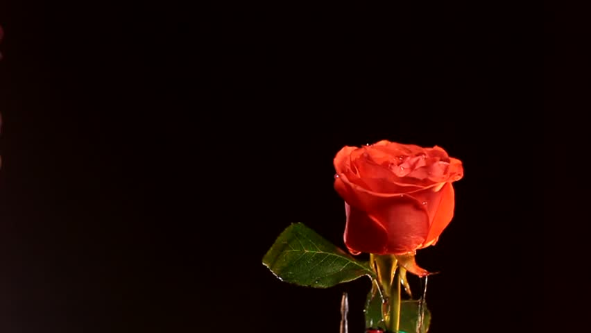 Tender Red Rose On A Stock Footage Video 100 Royalty Free