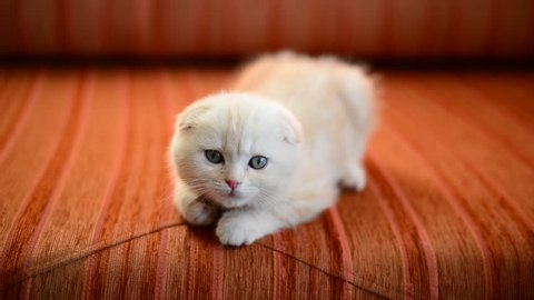 Scottish Fold Kitten Lies On Stock Footage Video 100 Royalty Free 13067009 Shutterstock
