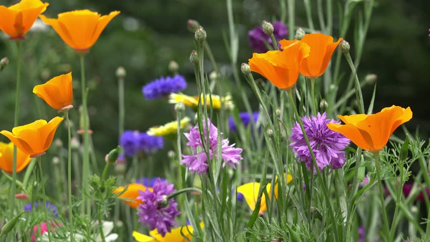 Field Of Colorful Summer Flowers Cornflower And California Poppy Stock Footage Video 13070888 Shutterstock