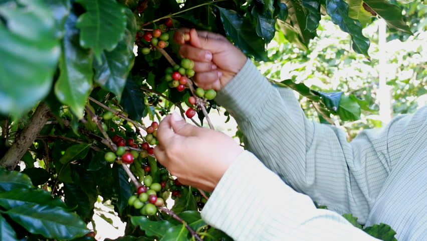 Picking coffee beans | Shutterstock HD Video #13075721