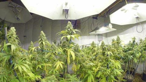 Steadicam Motion Across Marijuana Plants with Buds at Indoor Cannabis Farm