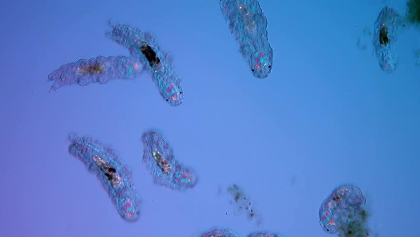 Hypsibius dujardini, water bear, Bärtierchen, polarisation illumination, polarisierte Beleuchtung, Bewegung, movement, Tardigrada, tardigrades