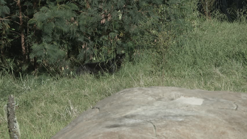 Black panther walks out of the African bush and looks around. | Shutterstock HD Video #13110089