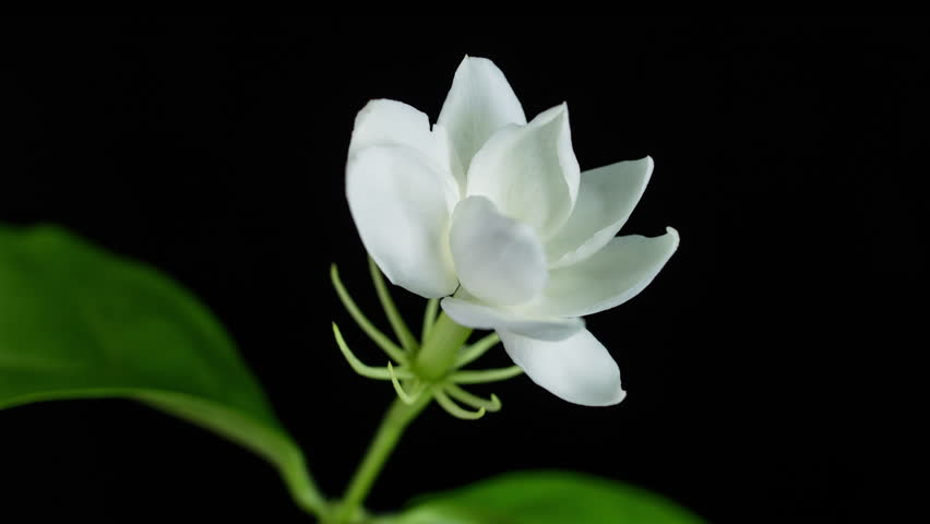 Time Lapse Of White Jasmine Flower Blooming On Black Background 4k Stock Footage Clip
