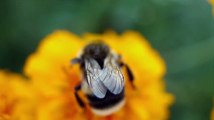 Bumble bee collects nectar in yellow flowers in summer herb garden
