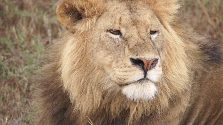 The lion lies in the savannah (close up). Safari in Tanzania #13198829