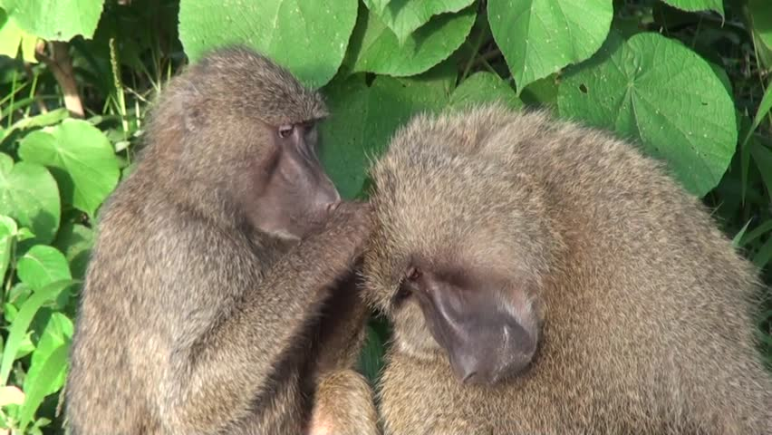 Two baboons are taking care of each other. Safari in Tanzania  #13199339